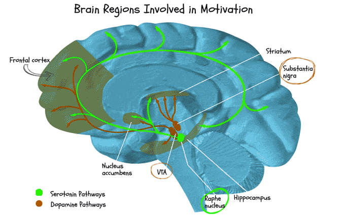 motivation and the brain Review, motivation is created in the brain when dopamine is released and takes a specific direction toward the mesolimbic pathway and then spreads to other areas in the brain like the cerebral cortex.